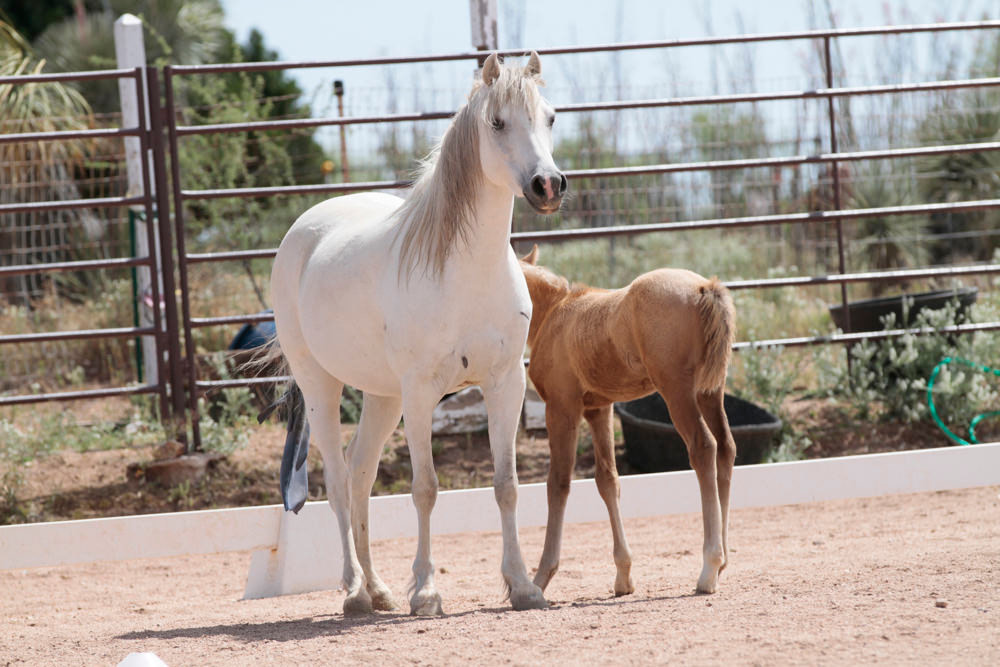 Elsa – Sec B Welsh Pony